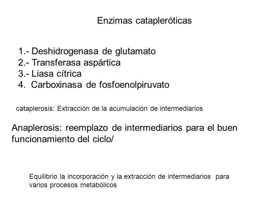 Enzimas catapleróticas 1.- Deshidrogenasa de glutamato 2.- Transferasa aspártica 3.- Liasa cítrica 4. Carboxinasa de fosfoenolpiruvato cataplerosis: E