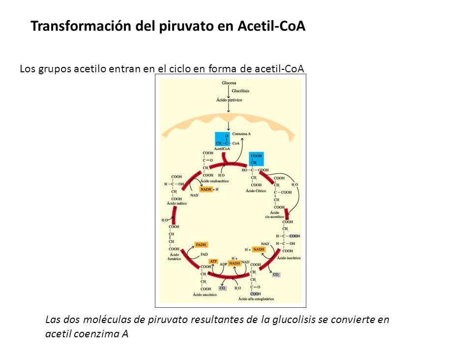 Las dos moléculas de piruvato resultantes de la glucolisis se convierte en acetil coenzima A Transformación del piruvato en Acetil-CoA Los grupos acet