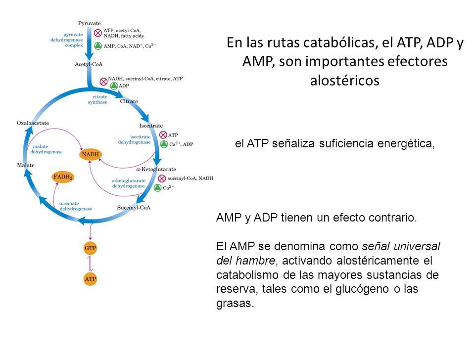 En las rutas catabólicas, el ATP, ADP y AMP, son importantes efectores alostéricos el ATP señaliza suficiencia energética, AMP y ADP tienen un efecto