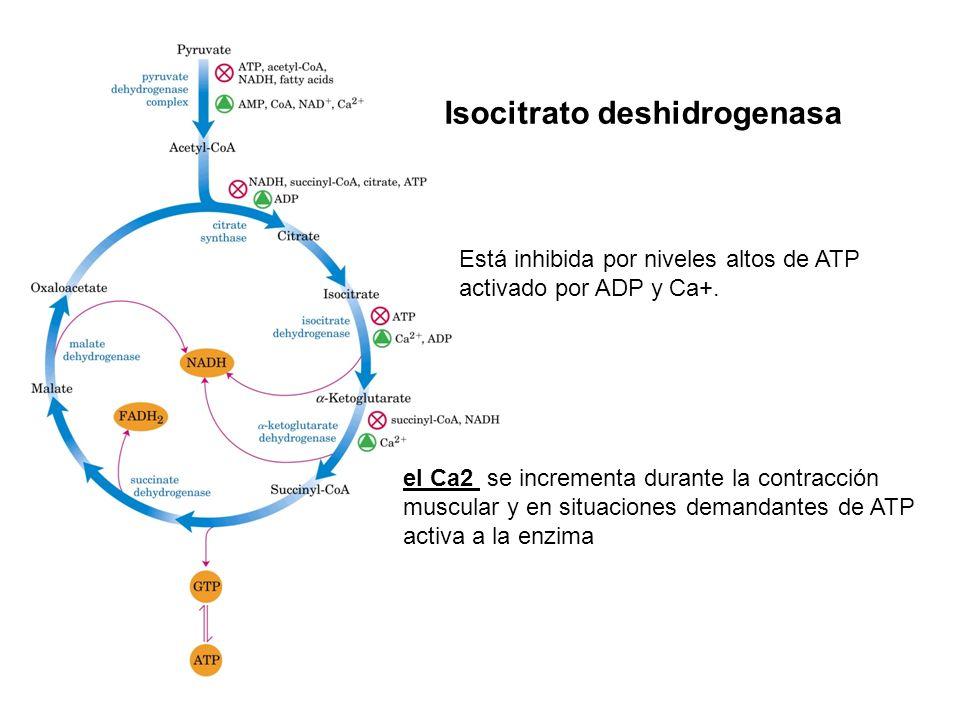 Está inhibida por niveles altos de ATP activado por ADP y Ca+. Isocitrato deshidrogenasa el Ca2 se incrementa durante la contracción muscular y en sit