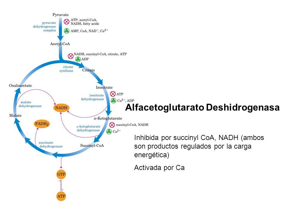 Alfacetoglutarato Deshidrogenasa Inhibida por succinyl CoA, NADH (ambos son productos regulados por la carga energética) Activada por Ca