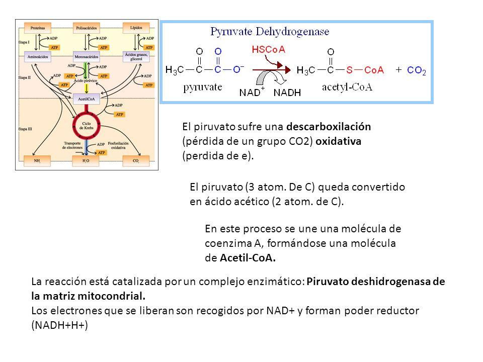 El piruvato sufre una descarboxilación (pérdida de un grupo CO2) oxidativa (perdida de e). El piruvato (3 atom. De C) queda convertido en ácido acétic
