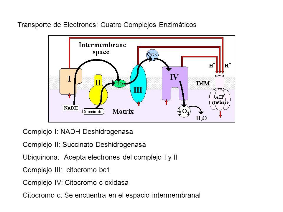 Transporte de Electrones: Cuatro Complejos Enzimáticos Complejo I: NADH Deshidrogenasa Complejo II: Succinato Deshidrogenasa Ubiquinona: Acepta electr