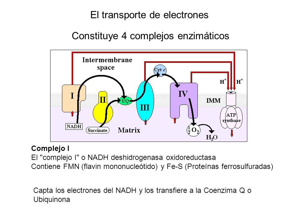 El transporte de electrones Constituye 4 complejos enzimáticos Complejo I El