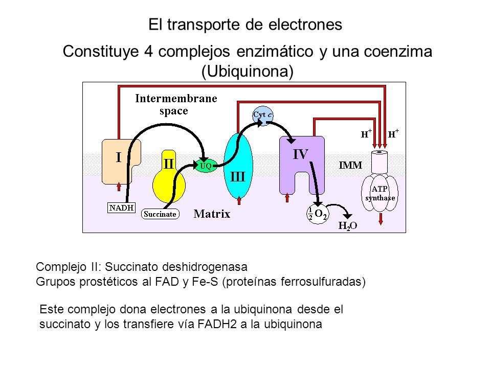 El transporte de electrones Constituye 4 complejos enzimático y una coenzima (Ubiquinona) Complejo II: Succinato deshidrogenasa Grupos prostéticos al