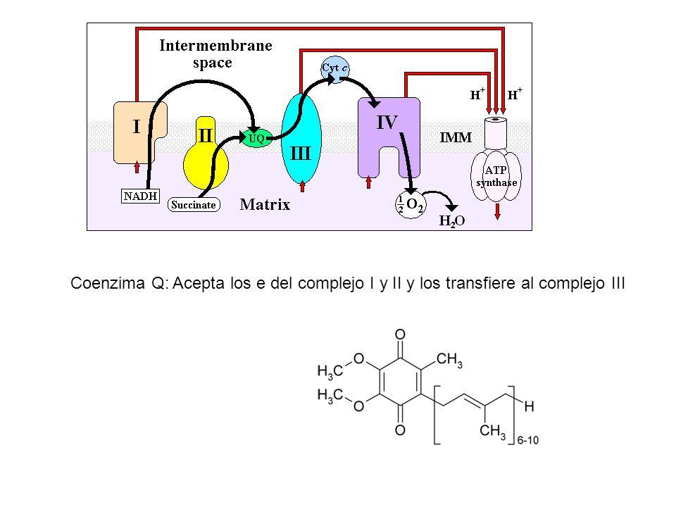 Coenzima Q: Acepta los e del complejo I y II y los transfiere al complejo III