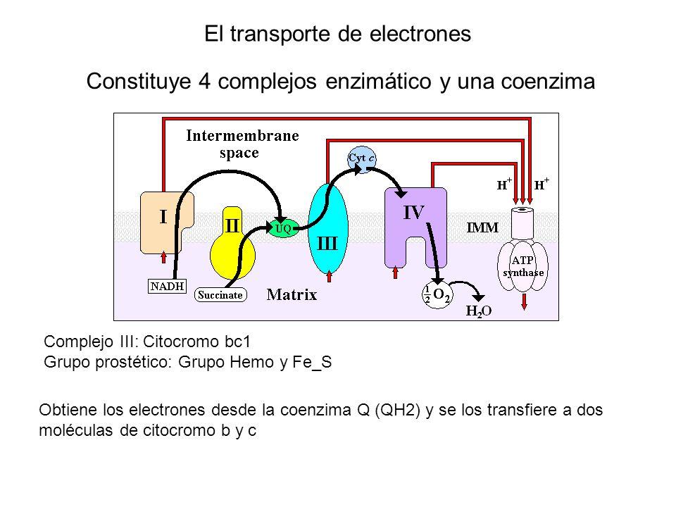 El transporte de electrones Constituye 4 complejos enzimático y una coenzima Complejo III: Citocromo bc1 Grupo prostético: Grupo Hemo y Fe_S Obtiene l