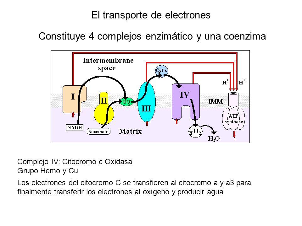 El transporte de electrones Constituye 4 complejos enzimático y una coenzima Complejo IV: Citocromo c Oxidasa Grupo Hemo y Cu Los electrones del citoc