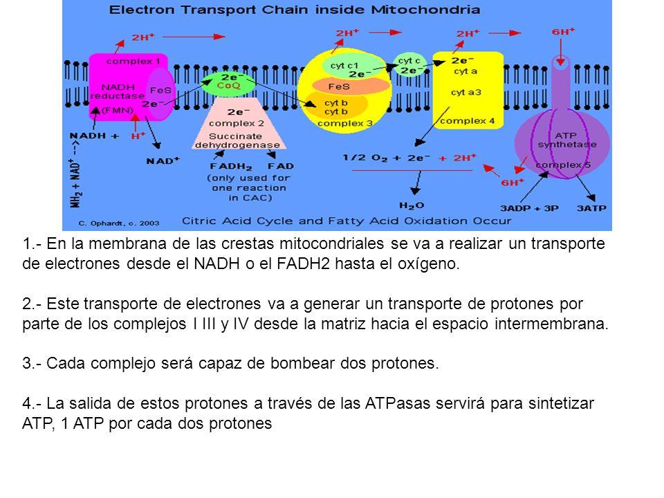 1.- En la membrana de las crestas mitocondriales se va a realizar un transporte de electrones desde el NADH o el FADH2 hasta el oxígeno. 2.- Este tran