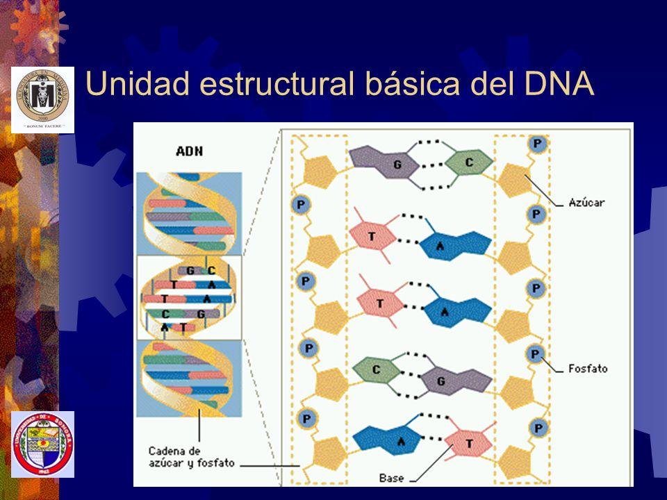 Ácido desoxirribonucléico Componentes básicos Acido fosfórico y Desoxirribosa Ramas helicoidales Bases nitrogenadas Adenina-Guanina y Citosina-Timina Unen las ramas