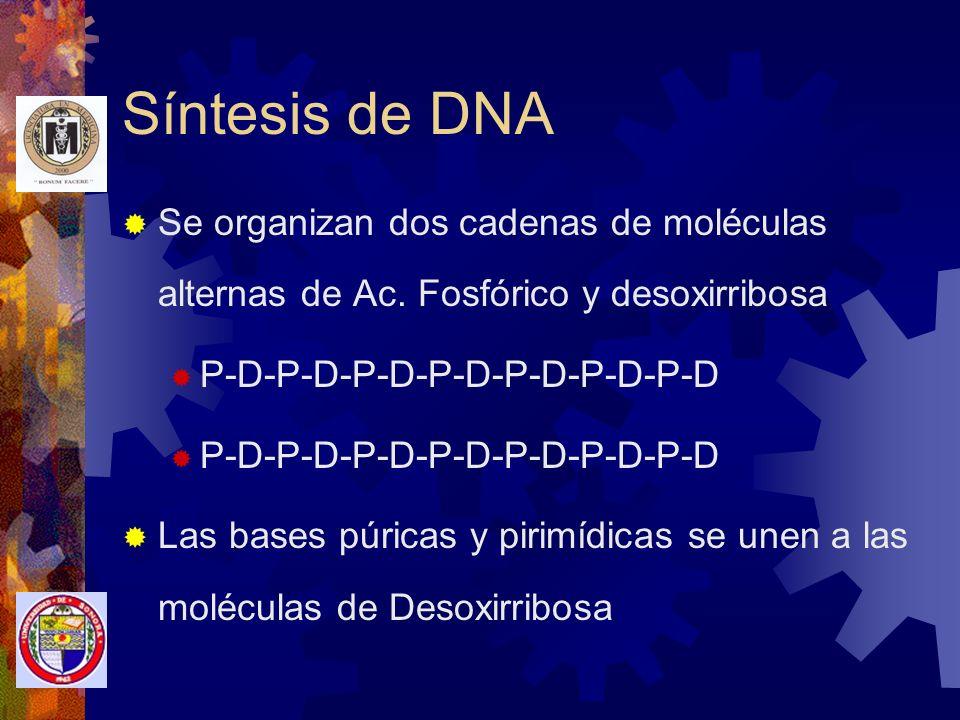 Unidad estructural básica del DNA Bases Purínicas: Adenina Guanina Bases Pirimidínicas: Timina Citosina