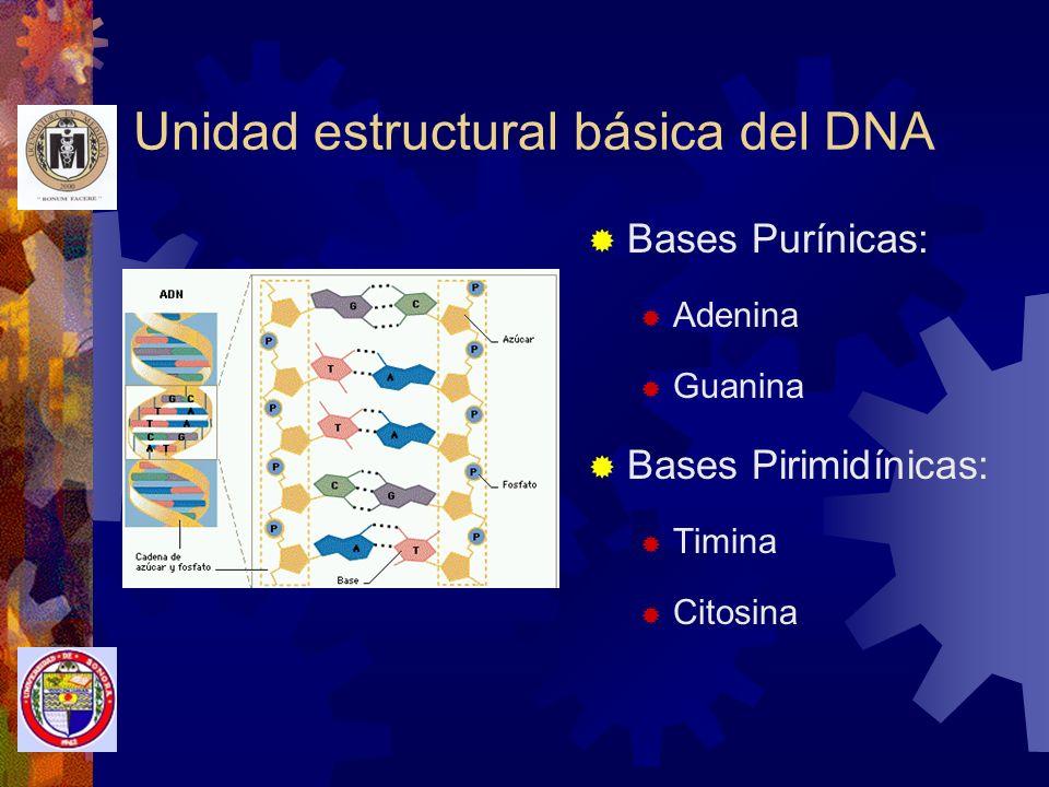Síntesis de DNA La base púrica ADENINA se une siempre con la base pirimídica TIMINA La base púrica GUANINA se une siempre con la base pirimídica CITOSINA Las bases están unidas por puentes de nitrógeno muy débiles 10 pares completos e nucléotidos en c/vuelta