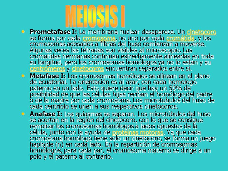 Prometafase I: La membrana nuclear desaparece. Un cinetocoro se forma por cada cromosoma, no uno por cada cromátida, y los cromosomas adosados a fibra