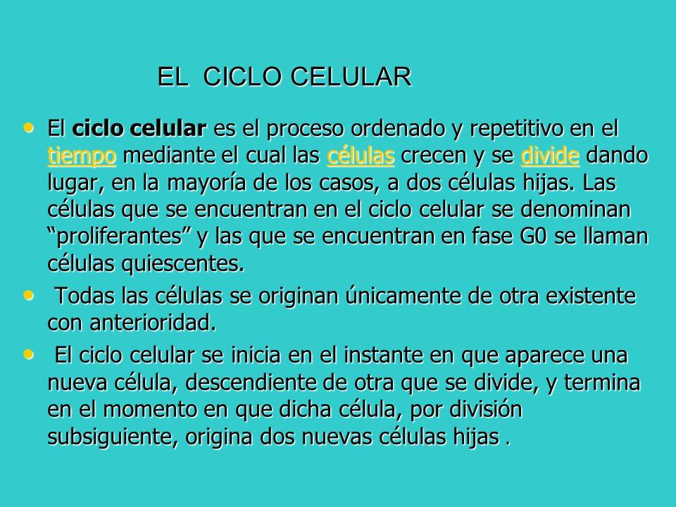 El ciclo celular es el proceso ordenado y repetitivo en el tiempo mediante el cual las células crecen y se divide dando lugar, en la mayoría de los ca