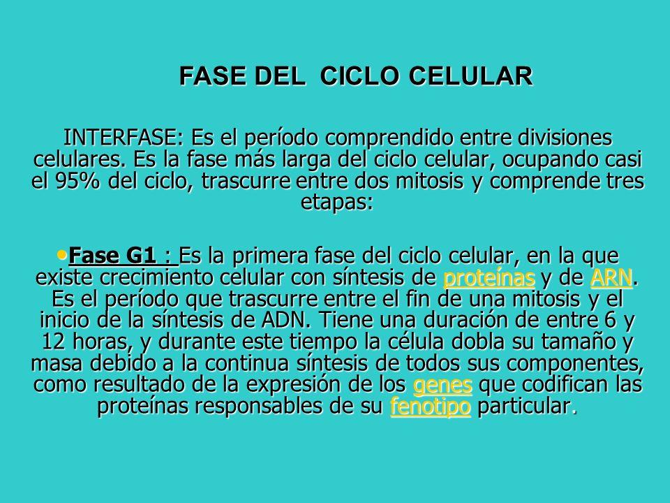 INTERFASE: Es el período comprendido entre divisiones celulares. Es la fase más larga del ciclo celular, ocupando casi el 95% del ciclo, trascurre ent