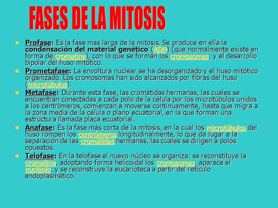 Profase: Es la fase mas larga de la mitosis. Se produce en ella la condensación del material genético (ADN) (que normalmente existe en forma de cromat