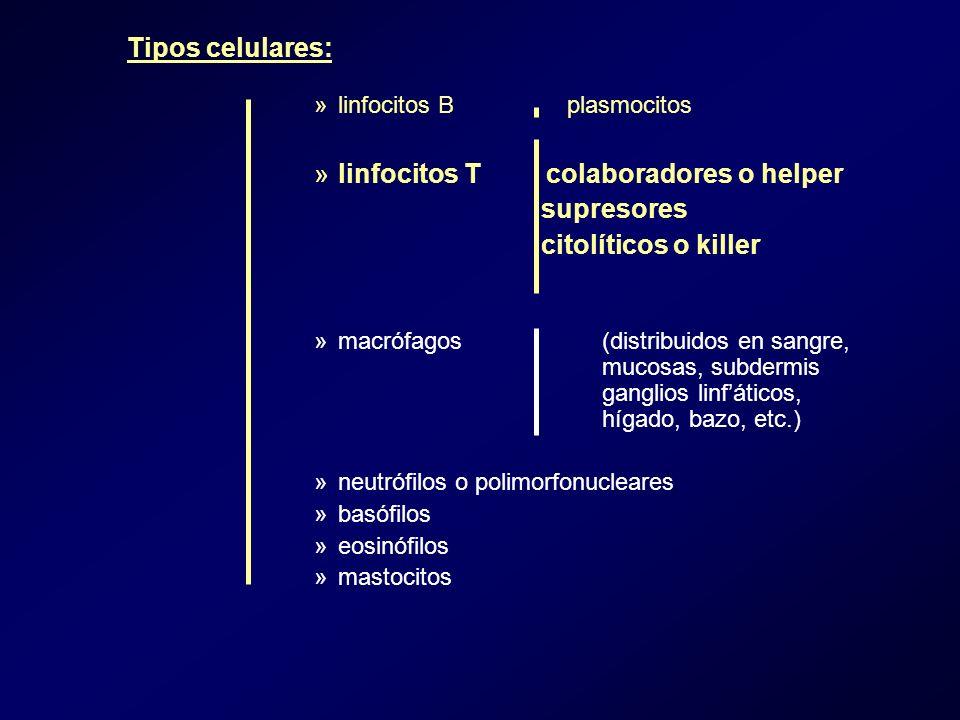 »linfocitos B plasmocitos »linfocitos T colaboradores o helper supresores citolíticos o killer »macrófagos (distribuidos en sangre, mucosas, subdermis