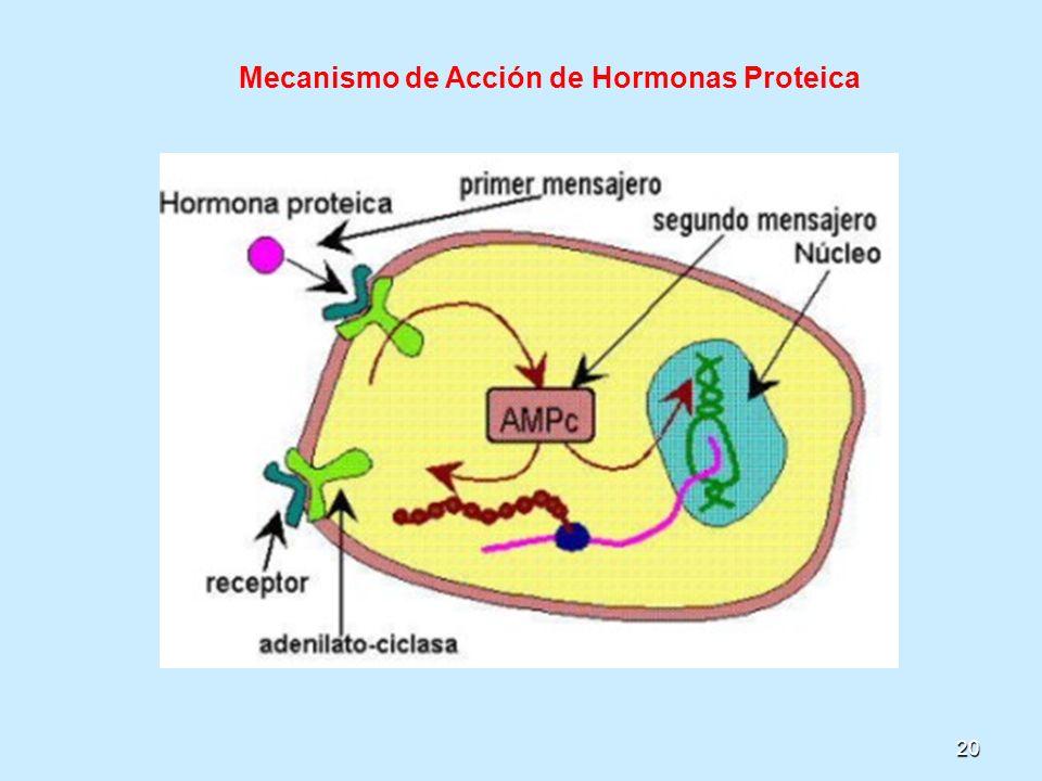 20 Mecanismo de Acción de Hormonas Proteica