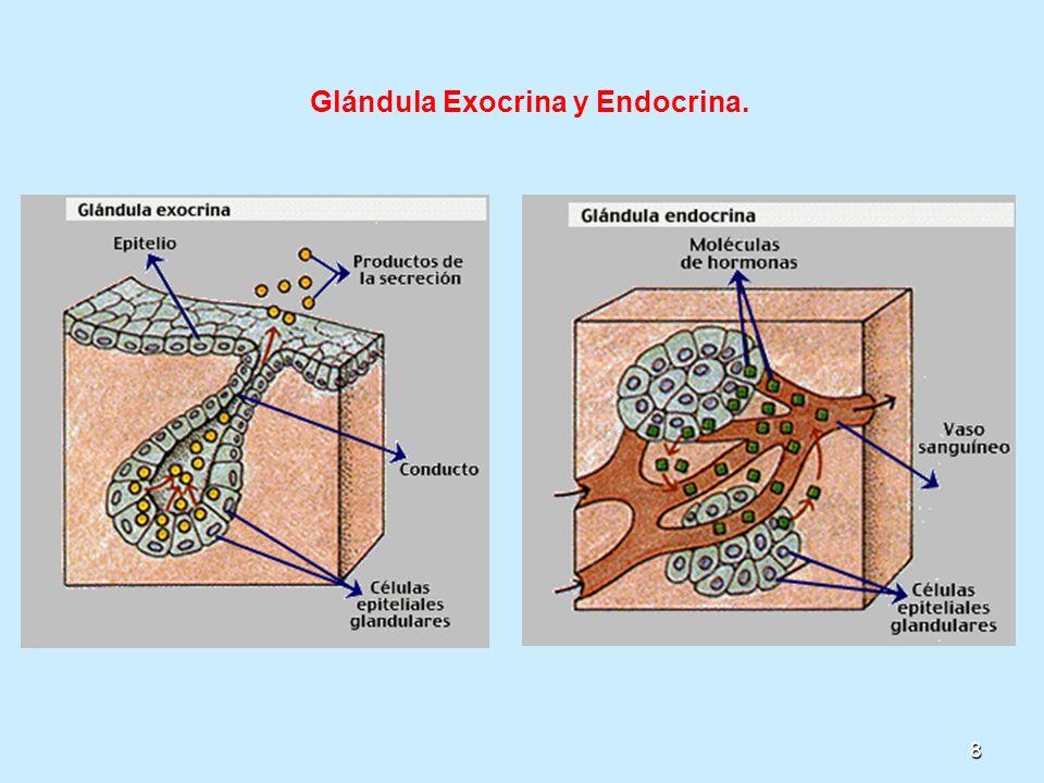 9 2.Según el número de células: a)Glándulas unicelulares: Están formadas por una sola célula secretora como las células caliciformes o mucosas que se encuentran distribuidas entre las células cilíndricas del epitelio de muchas mucosas como la del estómago.