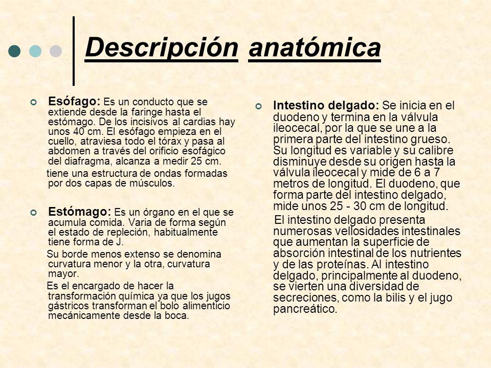 Descripción anatómica Esófago: Es un conducto que se extiende desde la faringe hasta el estómago. De los incisivos al cardias hay unos 40 cm. El esófa