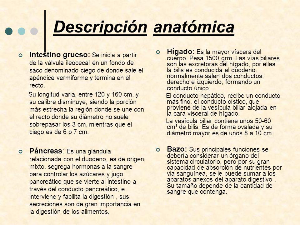 Descripción anatómica Intestino grueso: Se inicia a partir de la válvula ileocecal en un fondo de saco denominado ciego de donde sale el apéndice verm