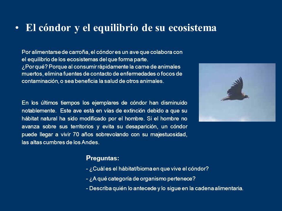 El cóndor y el equilibrio de su ecosistema Por alimentarse de carroña, el cóndor es un ave que colabora con el equilibrio de los ecosistemas del que f