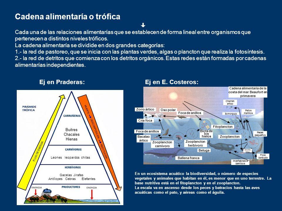 Cadena alimentaría o trófica Cada una de las relaciones alimentarías que se establecen de forma lineal entre organismos que pertenecen a distintos niv