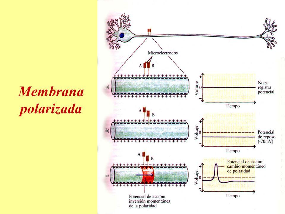 Membrana polarizada