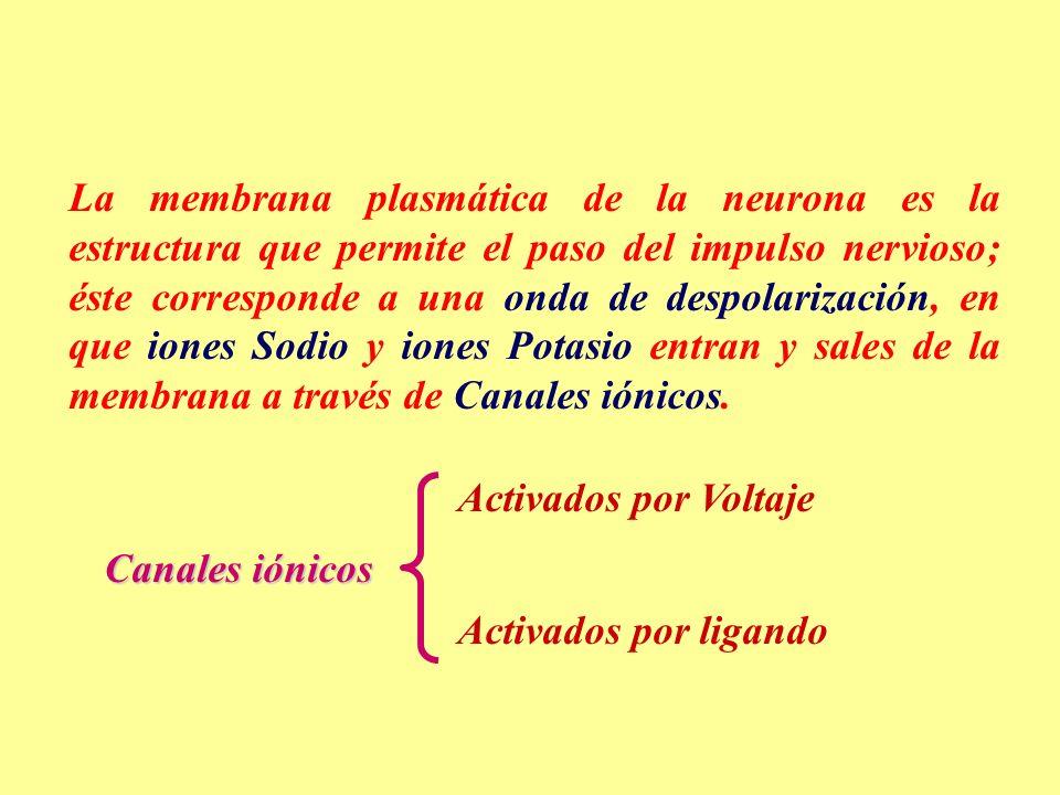 La membrana plasmática de la neurona es la estructura que permite el paso del impulso nervioso; éste corresponde a una onda de despolarización, en que