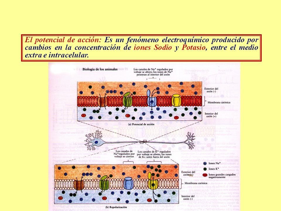 El potencial de acción: Es un fenómeno electroquímico producido por cambios en la concentración de iones Sodio y Potasio, entre el medio extra e intra