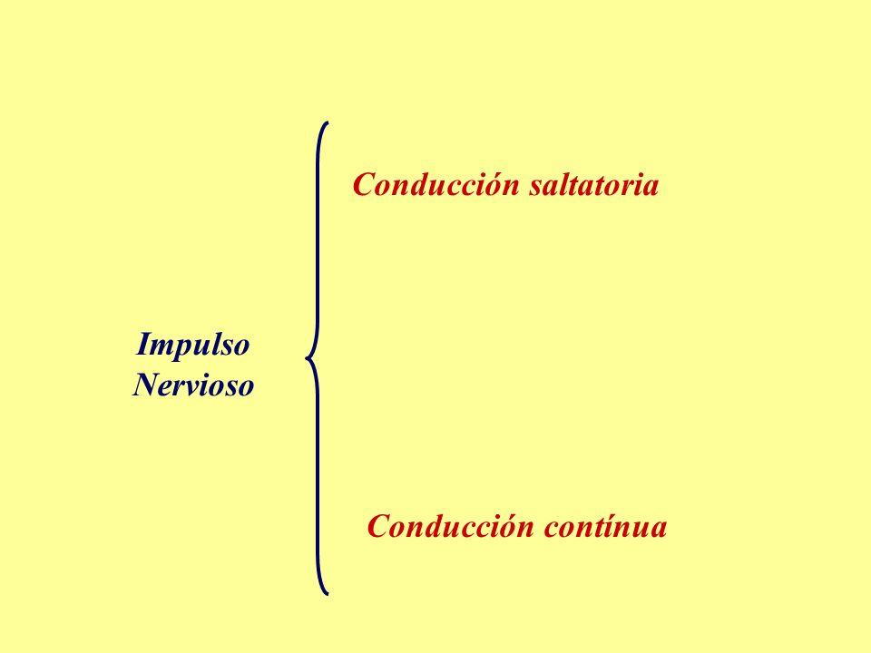 Impulso Nervioso Conducción saltatoria Conducción contínua