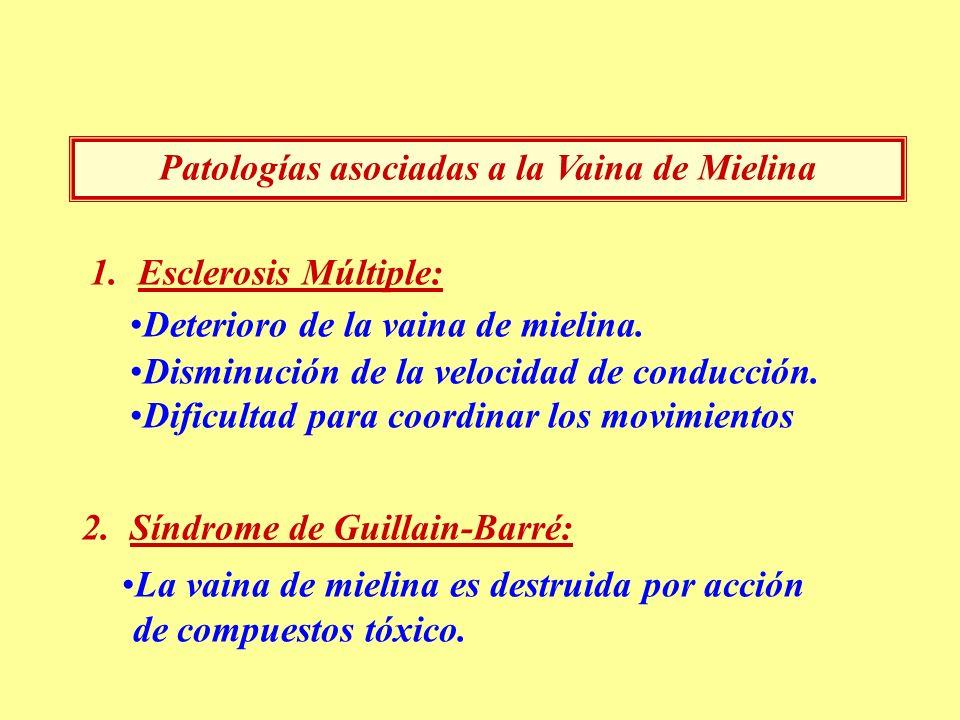 Patologías asociadas a la Vaina de Mielina 1.Esclerosis Múltiple: Deterioro de la vaina de mielina. Disminución de la velocidad de conducción. Dificul