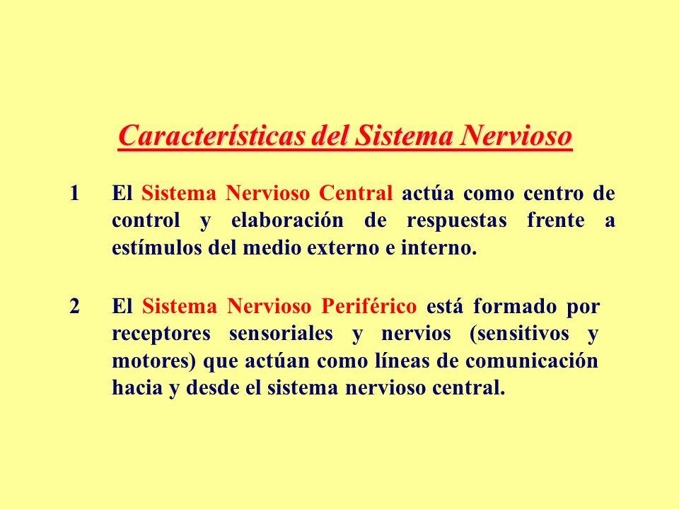 Características del Sistema Nervioso 1El Sistema Nervioso Central actúa como centro de control y elaboración de respuestas frente a estímulos del medio externo e interno.