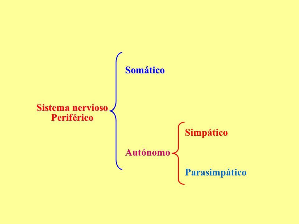 Sistema nervioso Periférico Somático Autónomo Simpático Parasimpático