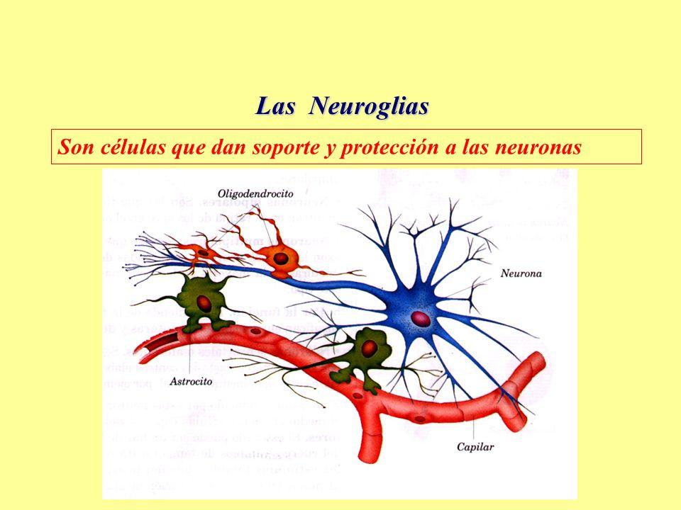 Las Neuroglias Son células que dan soporte y protección a las neuronas