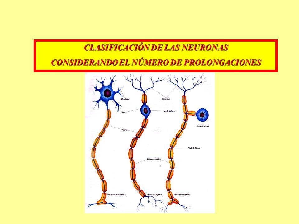 CLASIFICACIÓN DE LAS NEURONAS CONSIDERANDO EL NÚMERO DE PROLONGACIONES
