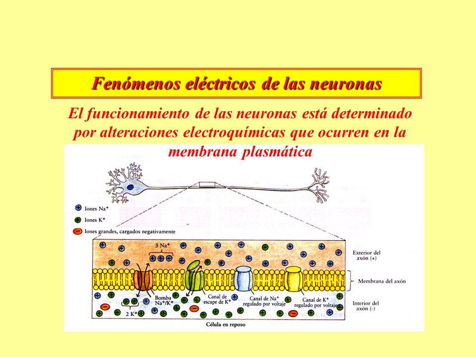 Fenómenos eléctricos de las neuronas El funcionamiento de las neuronas está determinado por alteraciones electroquímicas que ocurren en la membrana plasmática