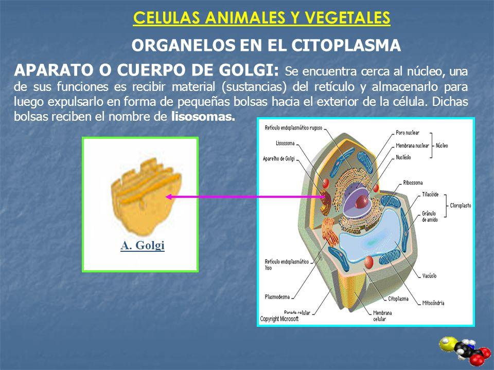 CELULAS ANIMALES Y VEGETALES ORGANELOS EN EL CITOPLASMA APARATO O CUERPO DE GOLGI: Se encuentra cerca al núcleo, una de sus funciones es recibir mater