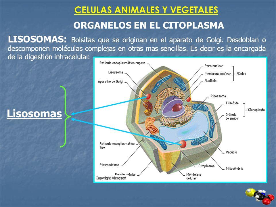 CELULAS ANIMALES Y VEGETALES ORGANELOS EN EL CITOPLASMA LISOSOMAS: Bolsitas que se originan en el aparato de Golgi. Desdoblan o descomponen moléculas