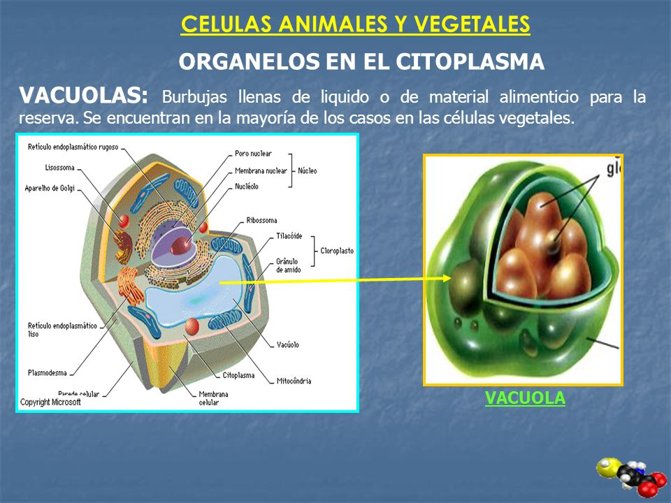 CELULAS ANIMALES Y VEGETALES ORGANELOS EN EL CITOPLASMA VACUOLAS: Burbujas llenas de liquido o de material alimenticio para la reserva. Se encuentran