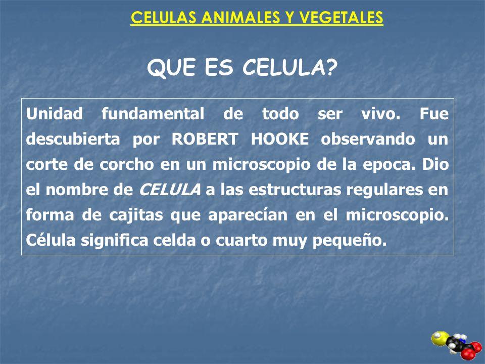 CELULAS ANIMALES Y VEGETALES QUE ES CELULA? Unidad fundamental de todo ser vivo. Fue descubierta por ROBERT HOOKE observando un corte de corcho en un