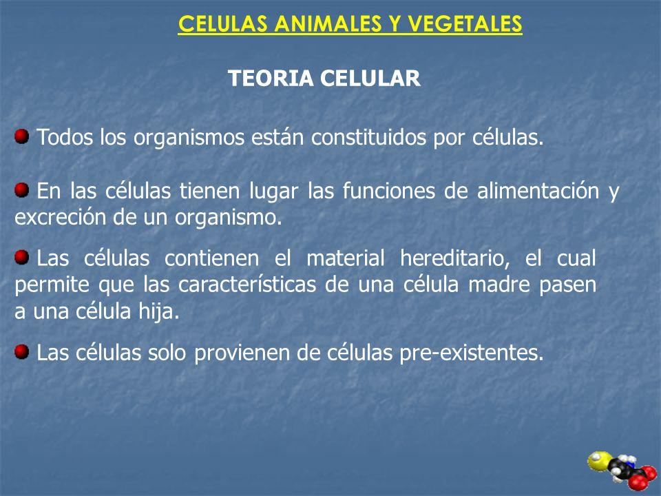 CELULAS ANIMALES Y VEGETALES TEORIA CELULAR Todos los organismos están constituidos por células. En las células tienen lugar las funciones de alimenta
