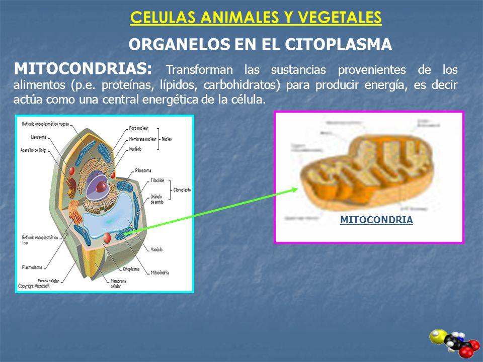CELULAS ANIMALES Y VEGETALES ORGANELOS EN EL CITOPLASMA MITOCONDRIAS: Transforman las sustancias provenientes de los alimentos (p.e. proteínas, lípido