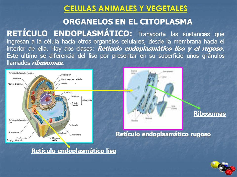 CELULAS ANIMALES Y VEGETALES ORGANELOS EN EL CITOPLASMA RETÍCULO ENDOPLASMÁTICO: Transporta las sustancias que ingresan a la célula hacia otros organe