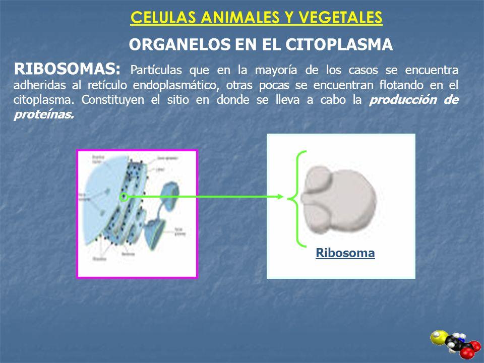 CELULAS ANIMALES Y VEGETALES ORGANELOS EN EL CITOPLASMA RIBOSOMAS: Partículas que en la mayoría de los casos se encuentra adheridas al retículo endopl