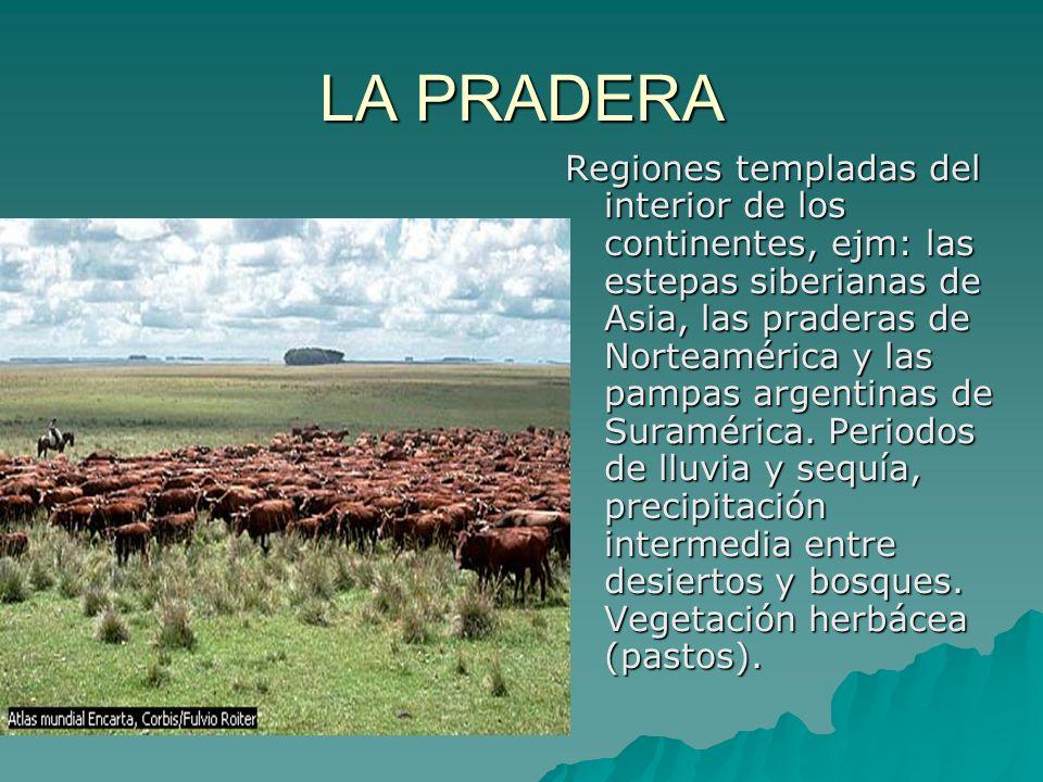 LA PRADERA Regiones templadas del interior de los continentes, ejm: las estepas siberianas de Asia, las praderas de Norteamérica y las pampas argentin