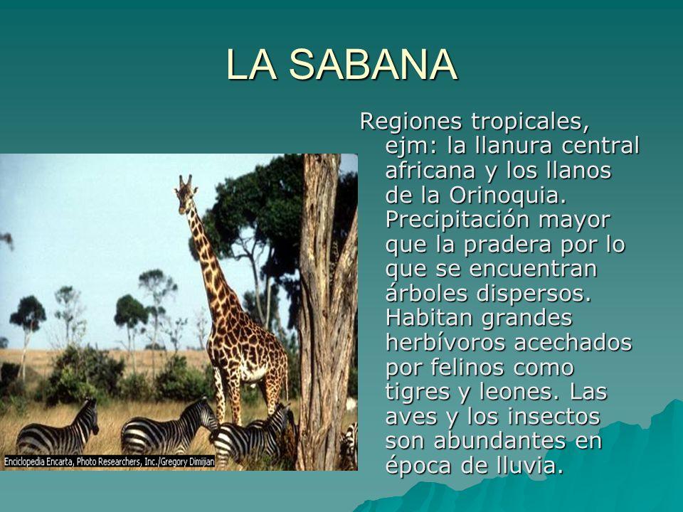 LA SABANA Regiones tropicales, ejm: la llanura central africana y los llanos de la Orinoquia. Precipitación mayor que la pradera por lo que se encuent