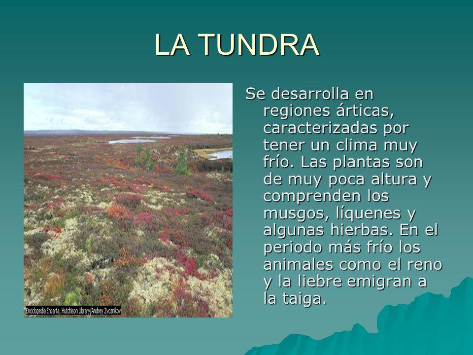 LA TUNDRA Se desarrolla en regiones árticas, caracterizadas por tener un clima muy frío. Las plantas son de muy poca altura y comprenden los musgos, l