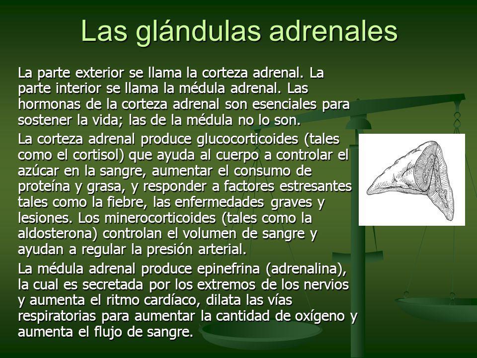 Las glándulas adrenales La parte exterior se llama la corteza adrenal. La parte interior se llama la médula adrenal. Las hormonas de la corteza adrena