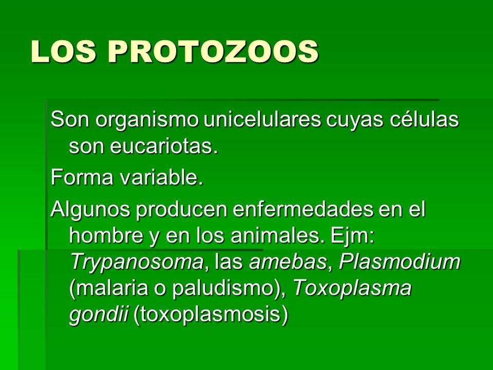 LOS PROTOZOOS Son organismo unicelulares cuyas células son eucariotas. Forma variable. Algunos producen enfermedades en el hombre y en los animales. E